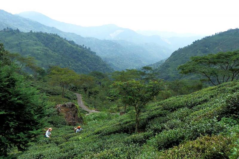 <span>Индийский черный чай «Гумти Весенний Особый»</span>